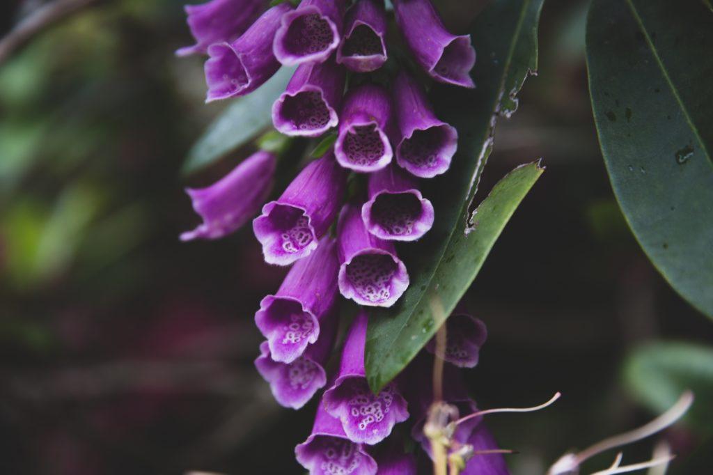 fiolet dzwonki 2